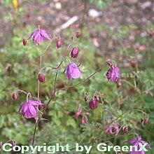 Scheinakelei - Semiaquilegia ecalcarata