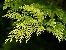 Scheinzypresse Chamaecyparis lawsoniana 300 Samen