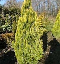 Scheinzypresse Erecta Aurea 60-80cm- Chamaecyparis