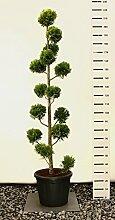 Scheinzypresse Kugel-Formschnitt - Chamaecyparis