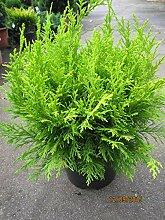Scheinzypresse Miky - Chamaecyparis lawsoniana Miky
