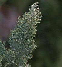 Scheinzypresse Snow White 20-30cm - Chamaecyparis