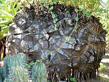 Schildkrötenpflanze Dioscorea elephantipes