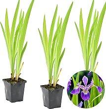 Schillernde Schwertlilie   Iris