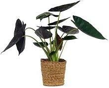 Schinner-Zimmerpflanze Alocasia »Yucatan