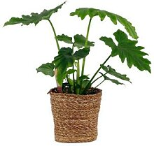 Schinner-Zimmerpflanze »Philodendron Shangri La«