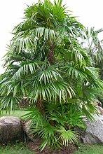 Schippia Concolor concolor Berg Pimento Palm Rare