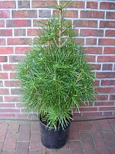 Schirmtanne, Höhe: 80-90 cm, Sciadopitys verticillata, winterharte Pflanze + Dünger