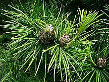 Schirmtanne Sciadopitys verticillata Pflanze