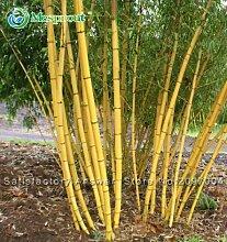 Schlussverkauf! Topfpflanzensamen Bonsai 30 Samen Bambus Samen Hausgarten Pflanze Frische Phyllostachys aureosulcata Spectabilis