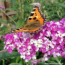 Schmetterlingsflieder Berries and Cream -