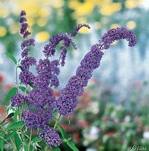 Schmetterlingsflieder Black Knight - Sommerflieder