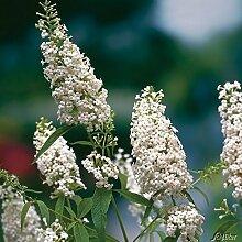 Schmetterlingsflieder Dart's Ornamental White - Sommerflieder (Buddleja) Pflanze in weiß, halbschattig und winterhart - Flieder-Strauch von Garten Schlüter
