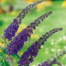 Schmetterlingsflieder Empire Blue - Sommerflieder