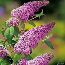 Schmetterlingsflieder Pink Delight - Sommerflieder