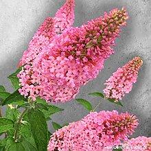 Schmetterlingsflieder Pink Panther - Sommerflieder