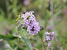 Schmetterlingsflieder - Rosafarbene Blüte -