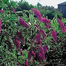 Schmetterlingsflieder Royal Red - Sommerflieder