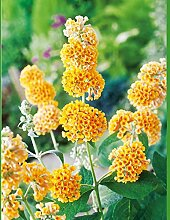 Schmetterlingsflieder Sungold - Sommerflieder
