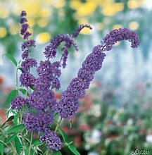 Schmetterlingsflieder White Profusion -