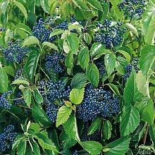 Schneeball 'Blue Muffin®'