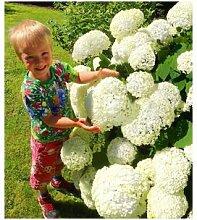 Schneeball-Hortensie Annabelle,1 Pflanze
