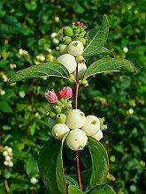 Schneebeere Symphoricarpos doorenbosii 'White