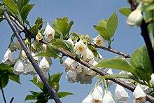 Schneeglöckchenbaum Halesia carolina Pflanze