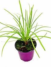 Schnitt Knoblauch Allium hybride Kräuter Pflanze