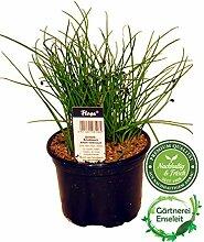 Schnittknoblauch,Allium tuberosum, Frische Kräuter Pflanze