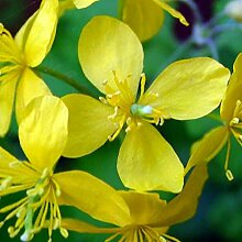 Schöllkraut - Chelidonium majus - Zier- u. Arzneipflanze - giftig - 200 Samen