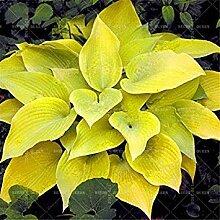 . Schöne japanische Hosta Perennials