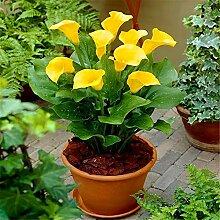 Schöne Schnittblumen,Calla Lily