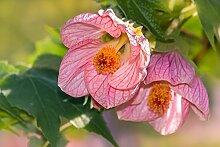 Schönmalve 20 Samen, Abutilon Samen -auffallende