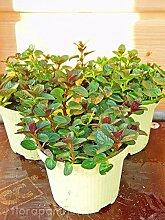 Schoko Minze Mentha x piperita Kräuter Pflanze 4stk.