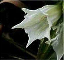 Schwalbenwurz Enzian Alba - Gentiana asclepiadea