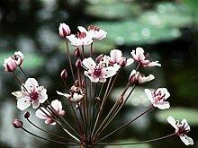 Schwanenblume (Butomus umbellatus) Teichpflanze Teichpflanzen Teich