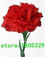 Schwarz: Heißer Verkauf Große Rote Nelke Samen