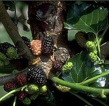 Schwarze Maulbeere. Morus nigra; Strauch. 1