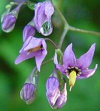 Schwarze Tollkirsche - Deadly Nightshade - Atropa belladonna - 30 Samen