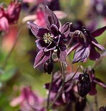 Schwarzviolette Akelei - Aquilegia atrata