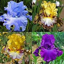 Schwertlilie - Bearded Irises/Iris