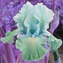 Schwertlilie - Bearded Irises/Schwertlilie