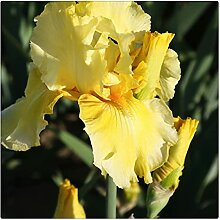 Schwertlilie Pflanze,Bearded