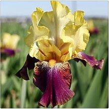 Schwertlilie Pflanze,Elegant,Iris Staude,Bearded