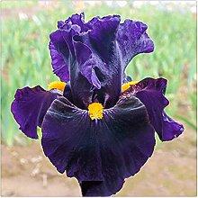 Schwertlilie Pflanze,Elegant,Iris