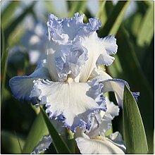 Schwertlilie Pflanze,Elegant,Iris Staude,Sehr