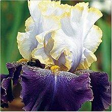 Schwertlilie Pflanze,Iris Staude,Elegant,Bearded