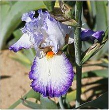 Schwertlilie Pflanze,Iris Staude,Sehr Gutes