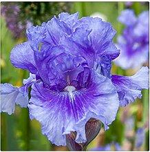 Schwertlilie Pflanze,Iris